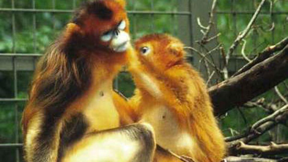 china-monkey
